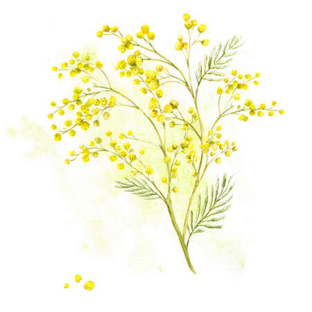 sprig: Sprig of Mimosa, Spring Watercolor Background Stock Photo
