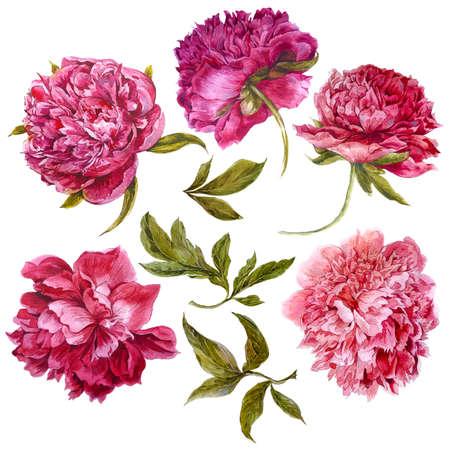 Set of watercolor dark pink peonies, separate flower, leaf, sprigs, isolated watercolor illustration