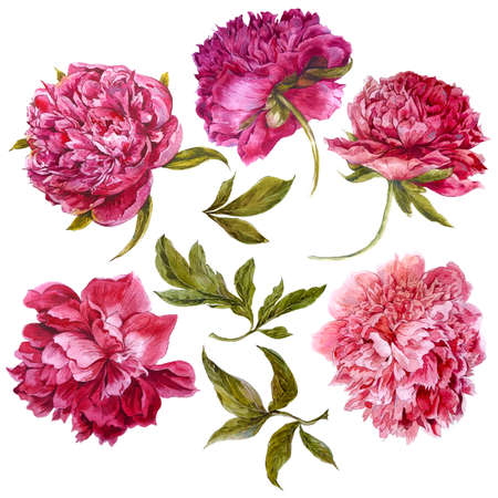 Set of watercolor dark pink peonies, separate flower, leaf, sprigs, isolated watercolor illustration