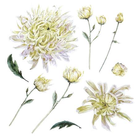 ビンテージ水彩菊の葉枝花蕾、水彩のイラストが白い背景で隔離