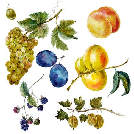 grapes: Conjunto de la acuarela del vintage frutos de la cosecha de otoño. Uvas Ciruela Blackberry melocotón albaricoque grosella espinosa. Ilustraciones botánicas de la acuarela deja ramas aisladas sobre fondo blanco Foto de archivo