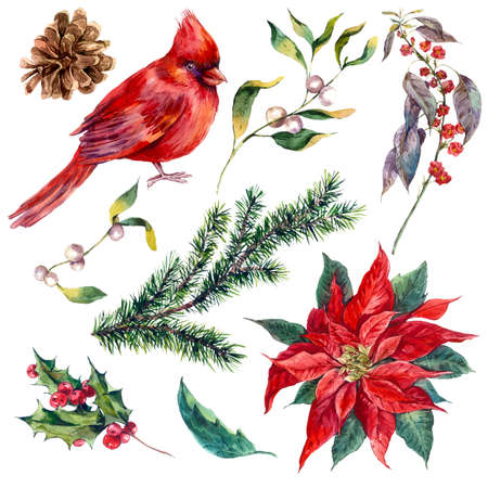 flor de pascua: Establecer elementos de la vendimia de la acuarela de Navidad de acebo, poinsettia, pi�a, rama de abeto y rojo cardenal p�jaro, ejemplo de la acuarela aislado en el fondo blanco