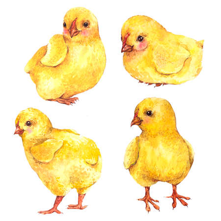 chicken and egg: Set of cute watercolor yellow chicks isolated on a white background, Easter watercolor illustration