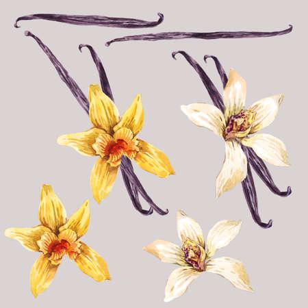 Conjunto de flores de la acuarela blanco y amarillo de la orquídea, orquídea de vainilla, flor de recogida botánico, ilustración aislada