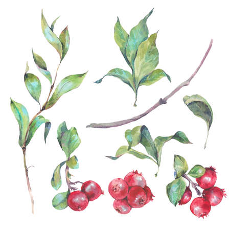 botanical illustration: Set of watercolors red berries isolated on white background, leaves and twigs, natural elements, watercolor berries collection Stock Photo