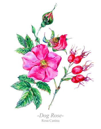 Watercolor summer medicinal flowers, Dog Rose plant Zdjęcie Seryjne - 102511023