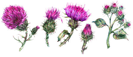 Vintage watercolor set of thistle, wild flowers, meadow herbs, leaves branches Stockfoto