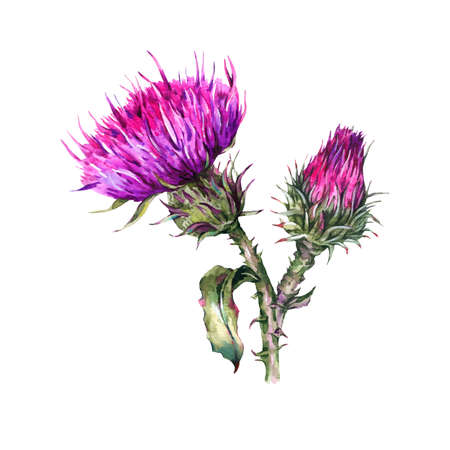 Botanical watercolor  of thistle.