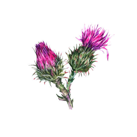 Vintage watercolor buds of thistle, wild flowers, meadow herbs. Stock Photo