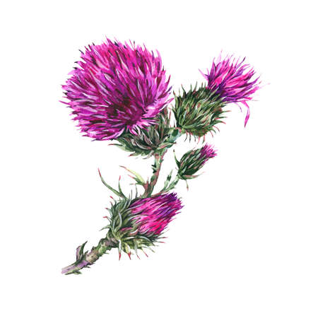 Watercolor botanical  of thistle, wild flowers, meadow herbs.