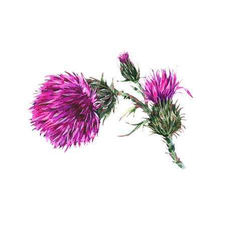 Vintage watercolor branches of thistle.
