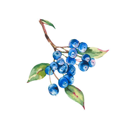 Watercolor summer forest bunch of dark blue berries. Reklamní fotografie