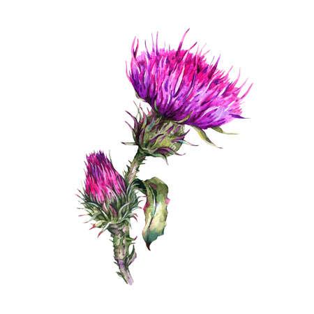 Vintage watercolor summer flower thistle, wild flowers, meadow herbs, green branches