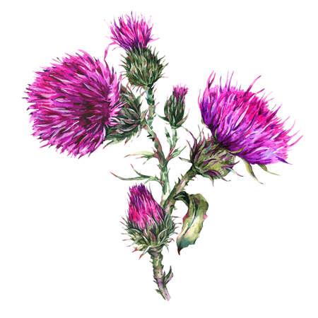 Watercolor thistle, wild flowers 免版税图像