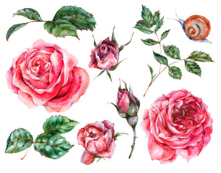 Decorative vintage watercolor set of red roses, Natural collection with flowers, leaf, buds and snail, botanical floral illustration isolated on white background
