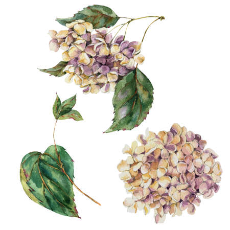 Watercolor Vintage Floral Set of Blooming White Hydrangea, Watercolor botanical natural hydrangea collection. Isolated natural elements 版權商用圖片