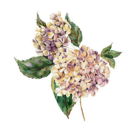 Watercolor Vintage Floral Greeting Card with Blooming White Hydrangea, Watercolor botanical natural hydrangea Illustration. Isolated natural elements