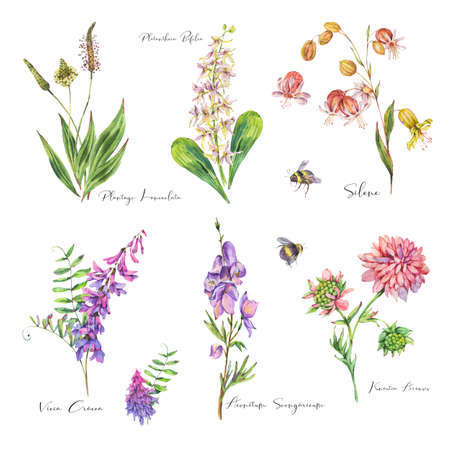 Vintage watercolor set of summer purple meadow wildflowers. Botanical floral collection on white background, natural objects. Medicinal flowers illustration