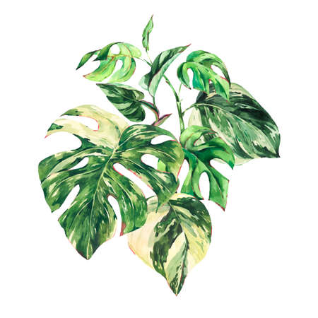 Watercolor summer tropical green leaves greeting card. Monstera Variegated botanical illustration isolated on white background.
