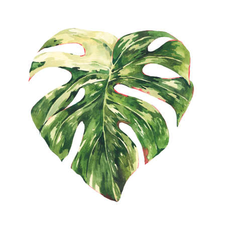Watercolor Monstera Variegated botanical illustration, tropical summer green leaves greeting card isolated on white background.