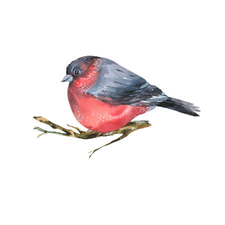 Watercolor bullfinch isolated on white background. Forest birds illustration. Woodland creatures.
