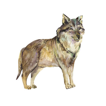 Watercolor wolf isolated on white background. Forest animals illustration. Woodland creatures. Stockfoto