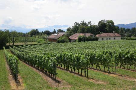 Vineyard near Lake Geneva and Swiss mountains, Switzerland