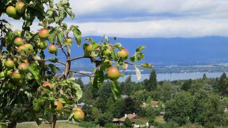 Vignoble près du lac Léman et des montagnes suisses, Suisse Banque d'images - 90156991