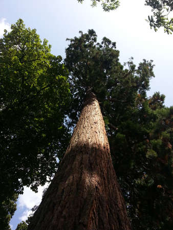 Giant Sequoia in a national park