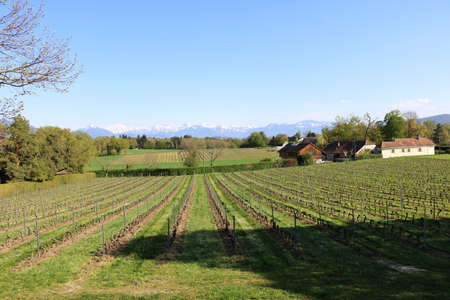 Vineyards in Switzerland, facing Mont Blanc.