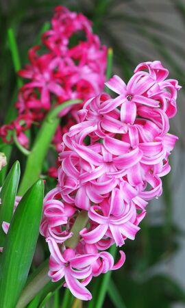 hyacinthus: Hyacinthus flores de color rosa Foto de archivo