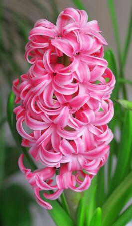 hyacinthus: pink hyacinthus flowers