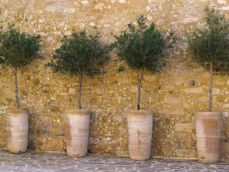 Olive saplings and an old wall