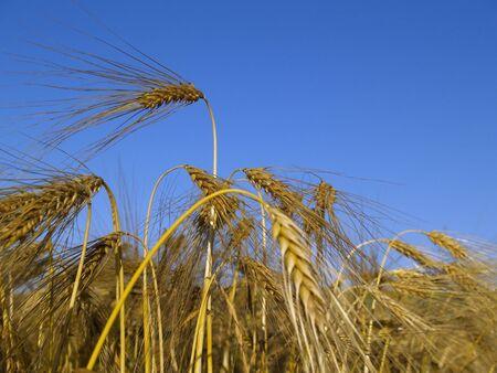barley ready for harvest Stock Photo - 475044