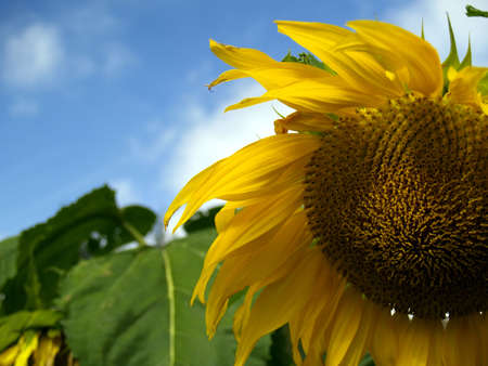 sunflower, green leafs, blue sky