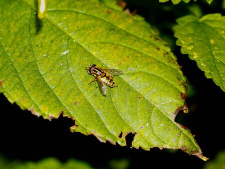 hover: hover fly on blackberry leaf Stock Photo