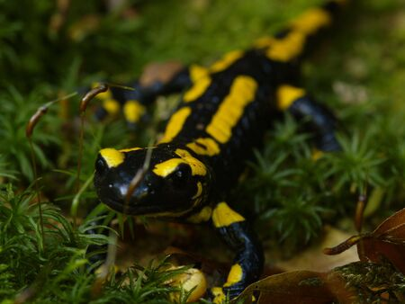 fire salamander on humid moss