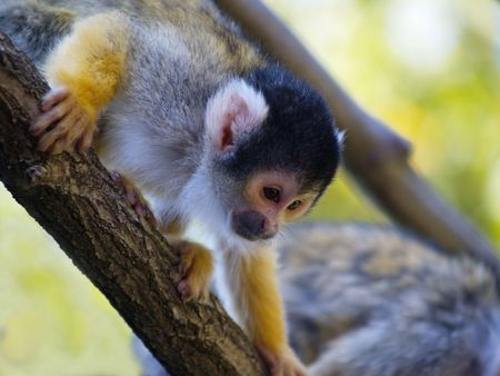curious squirrel monkey looking from a branch