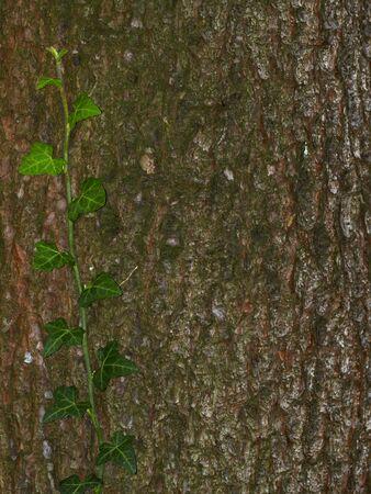 cirrus: ivy cirrus on bark background Stock Photo