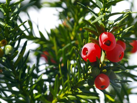 red fruits of a coniferous tree