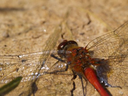 compound eye: red dragonfly on sandy ground