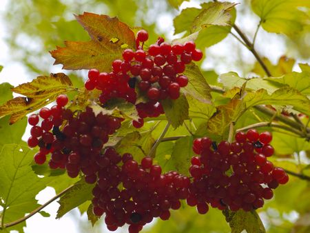 guelder: guelder rose, red berrys and autumnal foliage