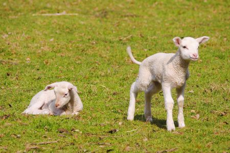 two young lambs on a green pasture photo