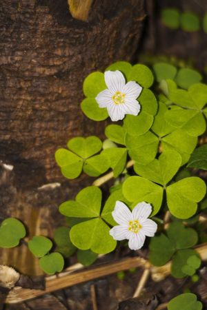 sorrel on humid forest ground oxalis acetosella photo