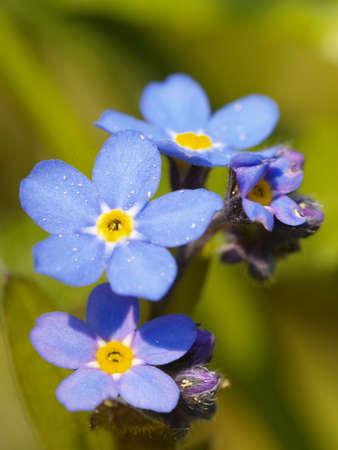bright blue blossoms of forget-me-not, Myosotis sylvatica Stock Photo - 4772374