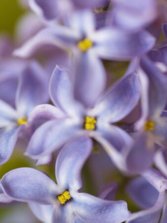 Macro photo of lilac blossoms Stock Photo - 4801974