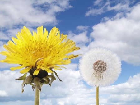 blowball: Dandelion and blowball with white fluffy clouds and blue sky
