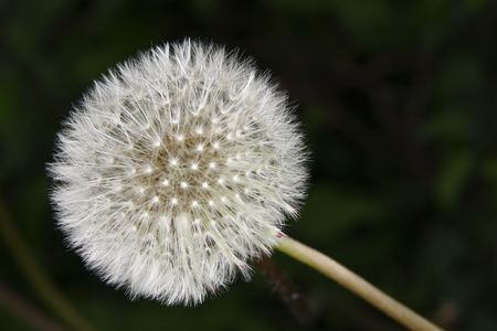 macro shot of dandelion clock Stock Photo