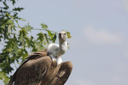 griffon: griffon vulture portrait