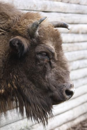 head of a wisent, Bison bonasus Stock Photo